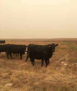 24 bred black Angus cows for sale