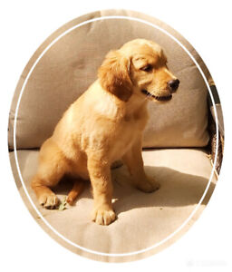 GOLDEN RETRIEVER PUPS - PLEASE READ COMPLETE AD