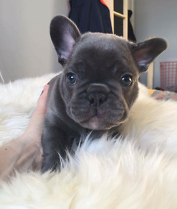 Gorgeous Blue Male & Female French bulldog Puppies