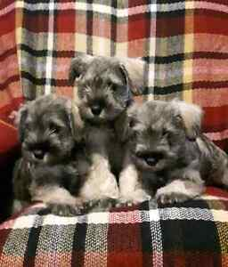 Minature Schnauzer Puppies.