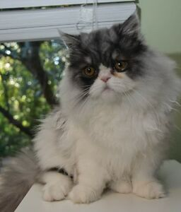 6 mth old Persian kitten