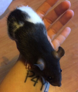 Friendly Baby Fancy Rats as Pets!