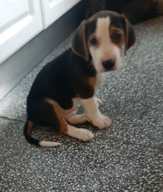 Beagle x jack russell