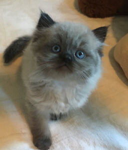 Himalayan Ragdoll Kittens Ready July 9th