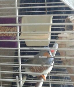 Beautiful male Zebra finch without a partner, needs home.