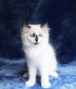 Friendly Male Ragdoll Kitten for his new home