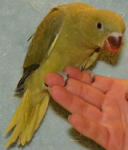 Green Indian Ringneck Baby Parrot.