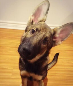 Pure male german shepherd for rehoming