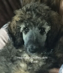 Guardian Girls - Female Poodle Puppy & Adult