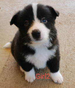 Border Collie Puppies (Pure Bred)