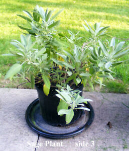 SAGE, potted plant, blooms, edible, flavour, health benefits