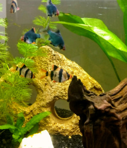 Wanted: Tiger Barbs or female Mollies