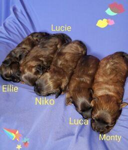 Shih Tzu | Adopt Dogs & Puppies Locally in British Columbia