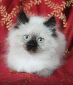 Persian Himalayan Seal Point Female Kittens
