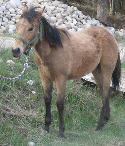 Quarter Horse Buckskin Filly