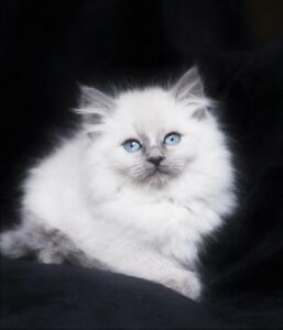 Lilac Point Ragdoll kittens for their   new   homes