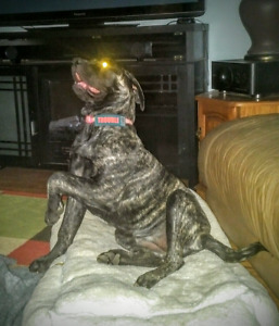 English Mastiff female looking for loving, kind, attentive home