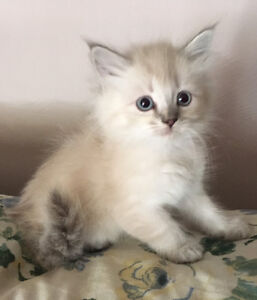 Himalayan X Ragdoll Female Kitten