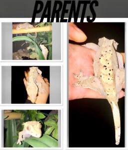 Beautiful Crested Geckos for Sale!