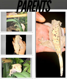 Beautiful Crested Geckos for Sale