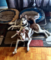 2 purebred Huskys. (Brother and Sister)