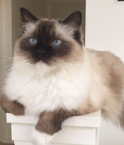 PUREBRED SEAL POINT MITTED RAGDOLL FROM CHAMPIONSHIP LINES
