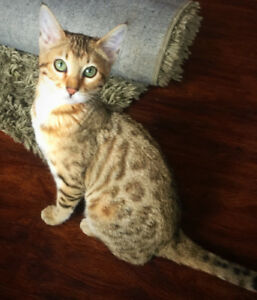 Gorgeous Female Bengal Kitten - Registered with TICA