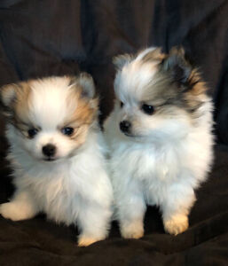 Pomchi puppies sold ppu