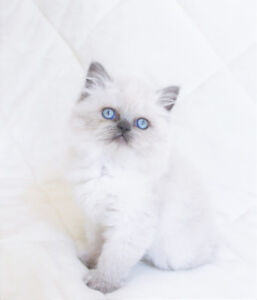 Female Persian Kittens for Adoption