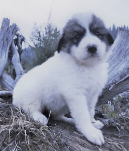 Gorgeous Great Pyrenees Guardian Puppies!