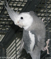 WANTED- Male Whiteface Cockatiel
