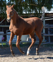 Exceptional 2015 fullbred Curly colt for sale