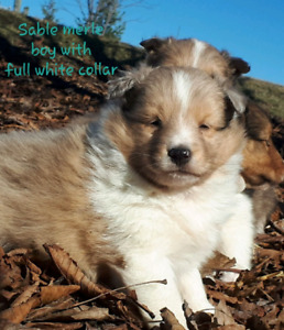 4 Beautiful CKC Registered Sheltie (Shetland Sheepdog) Puppies