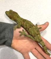 High green Pine Island Chahoua Gecko... young adult male!