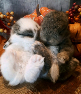 Quality Purebred Holland Lop Babies
