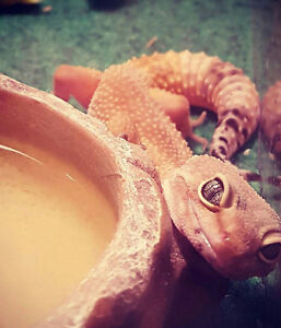 2 Year old Leopard Gecko + Accessories FOR SALE