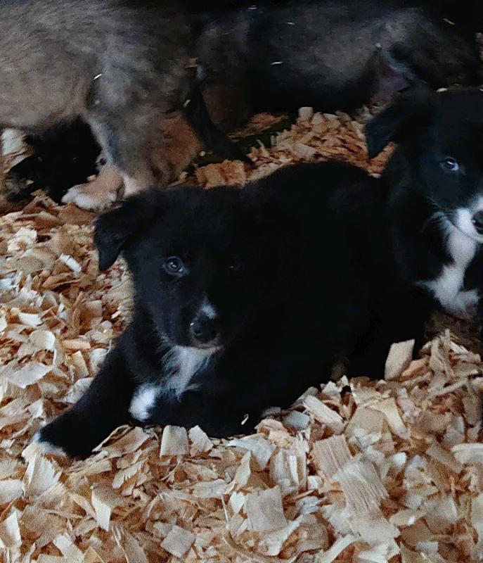 Tamaskan X Collie Puppy In Huntly Aberdeenshire Gumtree