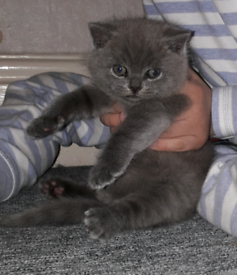 NOW SOLD!!!!Short hair British blue baby girl kitten