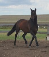 Canadian Warmblood Young Mare