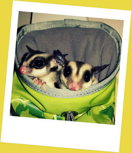 Two cute sugar gliders (cages, toys and more included)
