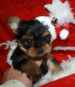 YORKIE PUPPIES ***They are here***