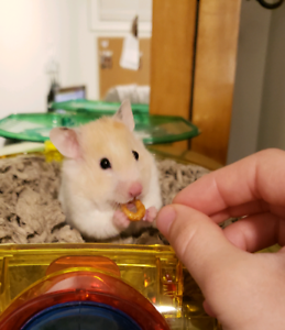 Young Hamster Rehoming  with cage and accessories