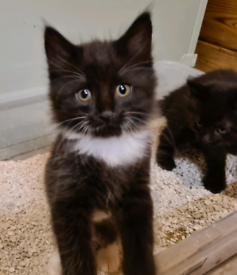 Long haired black and white Kittens only 2 left £120.00
