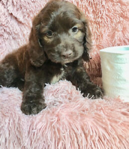 Teacup Puppies | Kijiji in Ontario  - Buy, Sell & Save with Canada's