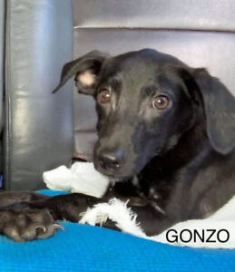 4 month old outgoing cuddly Gonzo