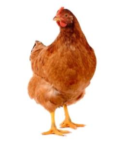 Réservation poules pondeuses!