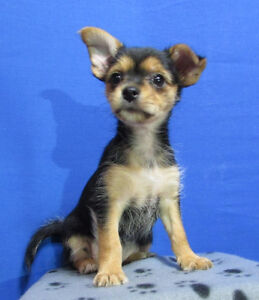 Rare Shorthair Morkie from Teacup Yorkshire Terrier Sire