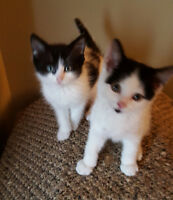 Beautiful Maine Coon x Kittens..ONLY 2 LEFT!