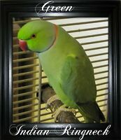 INDIAN RINGNECKS AVAILABLE FOR ADOPTION!