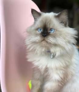 chat femelle himalayanne